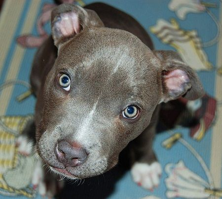 Pug And Bluetick Coonhound Uh This Is A Pitbull Not A Bluetick