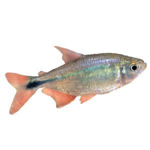 Buenos Aires Tetra In 2020 Live Fish Pet Fish Fresh Water Fish Tank