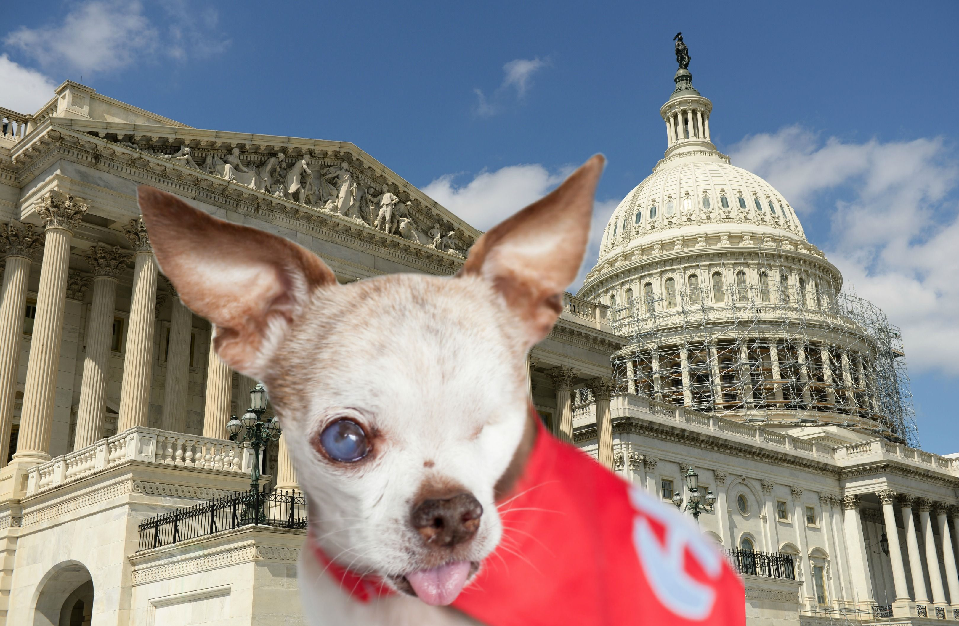 Tiny One Eyed Chihuahua Speaks To Congress On Capitol Hill About