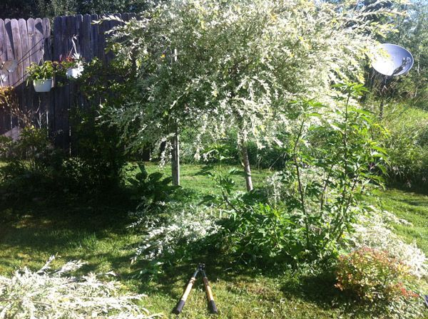 Dappled Willow Worth Pruning Tasks Iowa Gardener Magazine Enewsletter Michigan Gardening Gardening Magazines