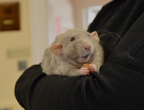 What It S Like To Be Single According To Cute Rats Cute Rats Pet Rats Rats