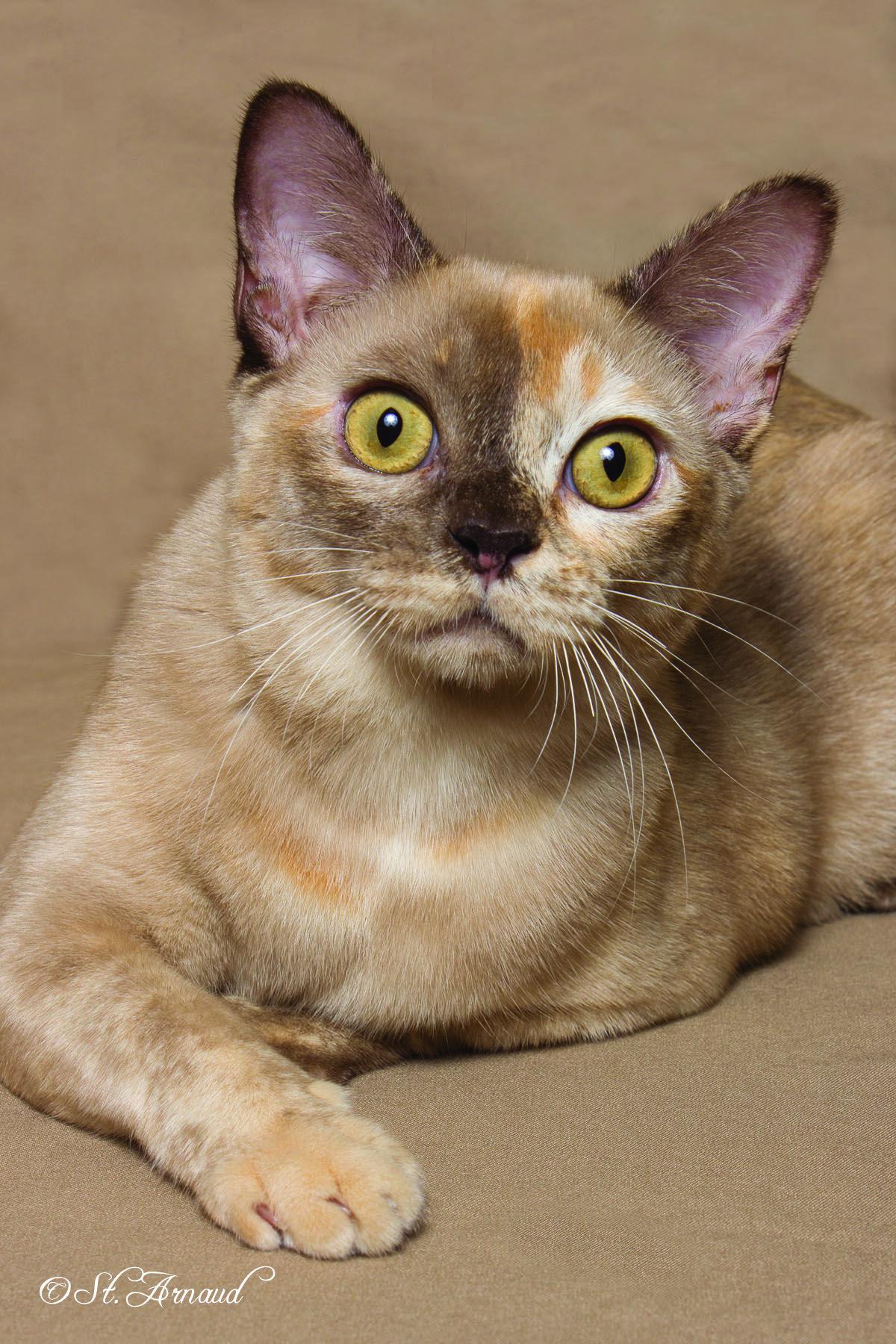9th Best Cat Gc Rw Penobscot S Too Dam Hot Of Jomarkat Chocolate