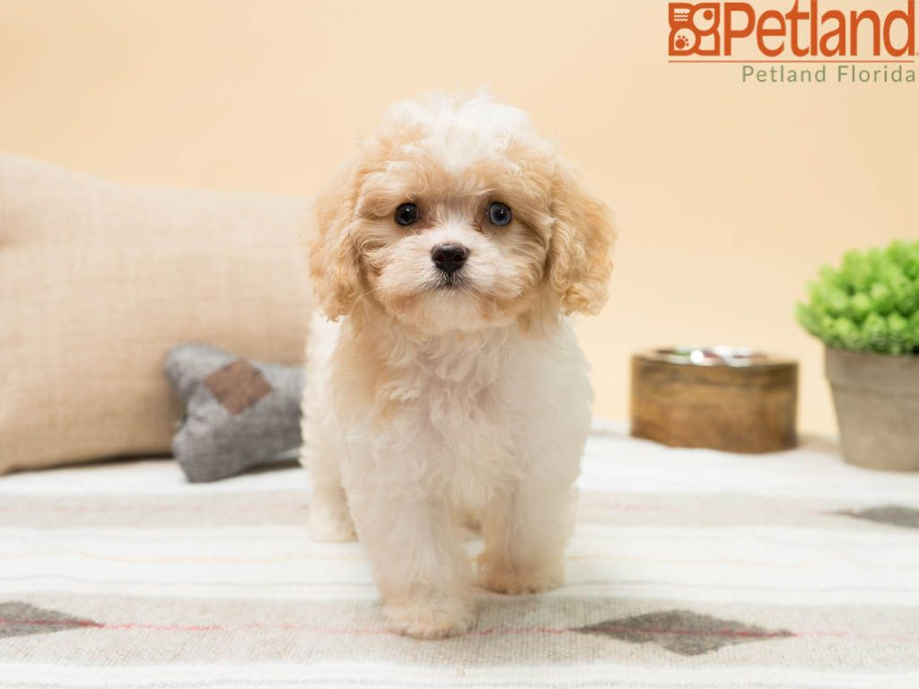 Petland Florida Has Cavachon Puppies For Sale Check Out All Our