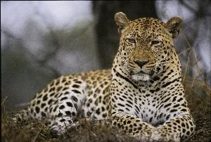 Leopard_in_the_Sabi_Sand_area.jpg (300×202)