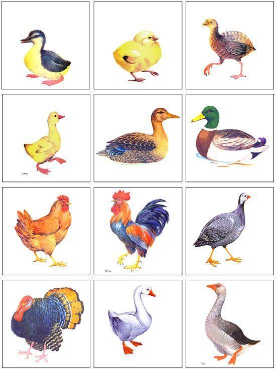 Расскажите детям о птицах | Домашние птицы, Для детей, Дети
