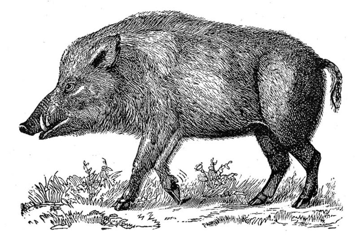 In celtic culture the boar is a symbol of strength endurance in celtic culture the boar is a symbol of strength endurance fearlessness biocorpaavc