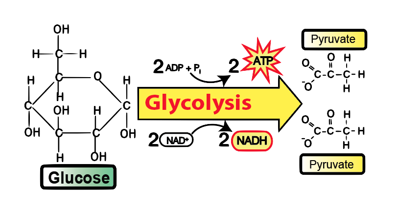Glycolysis Introduction Pathway Diagram Summary In 2020 Medical School Essentials Glycolysis Pathways Mcat Study