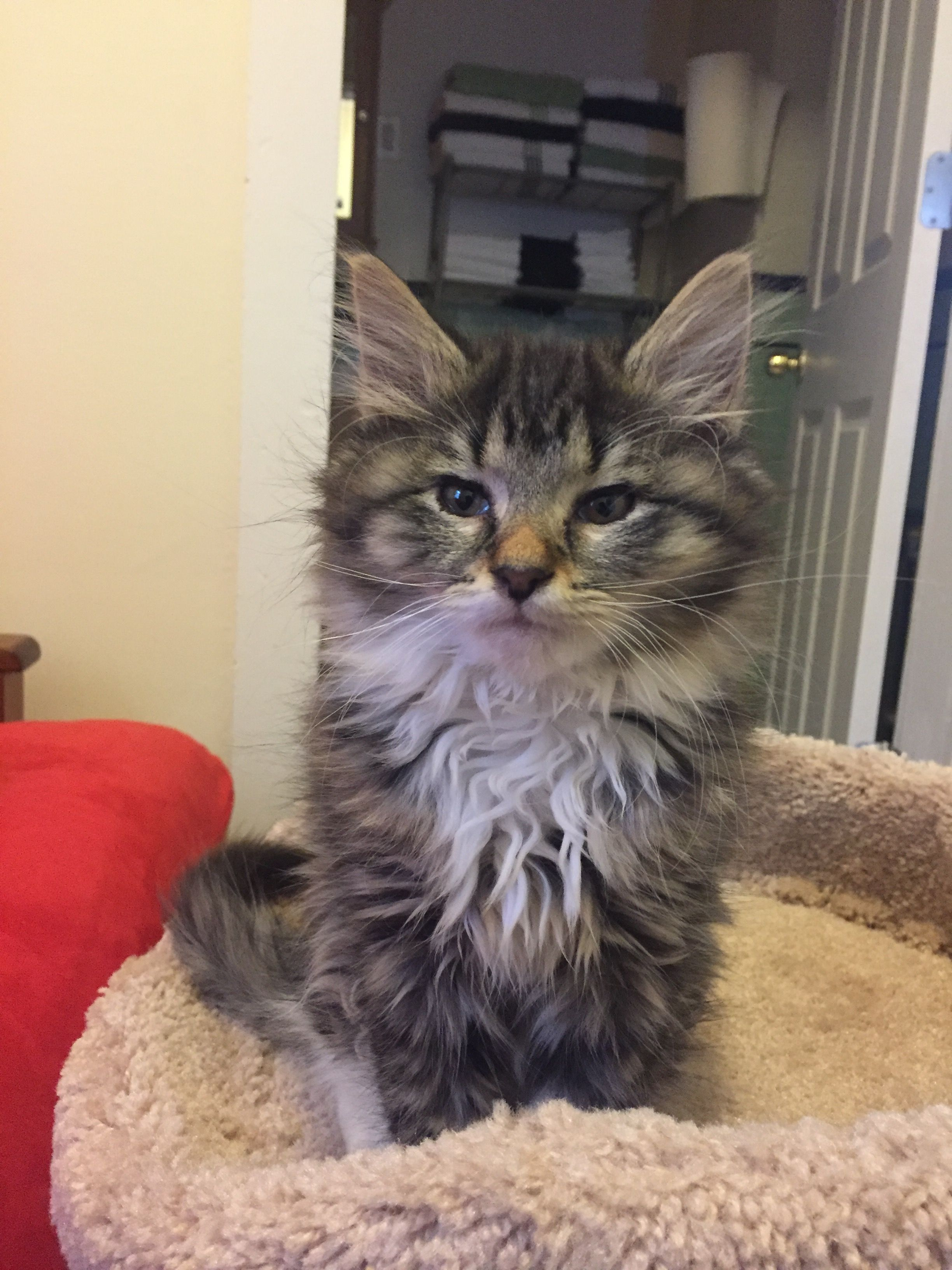 Pin On Maine Coon Kitten