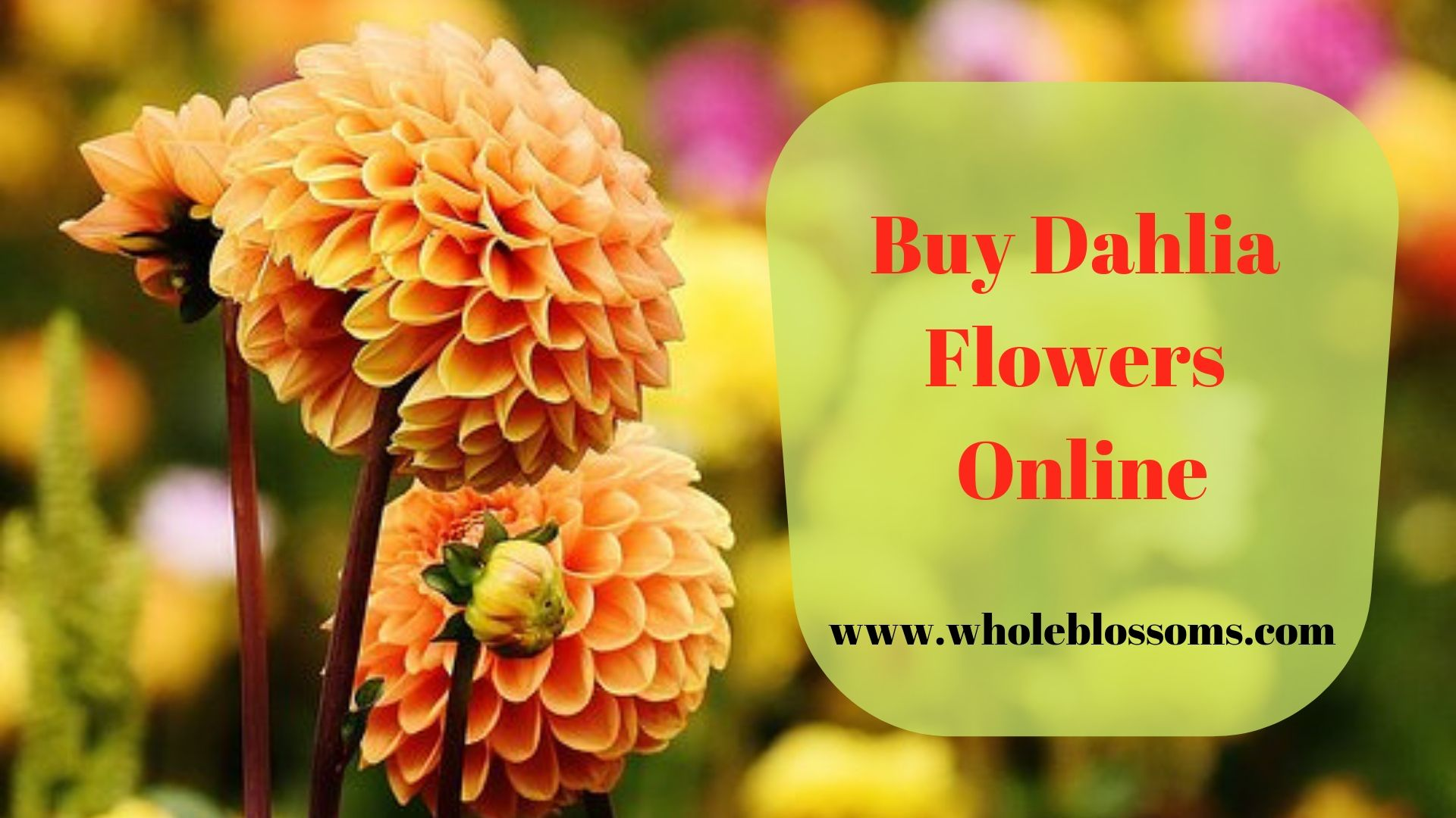 Dahlias Are Mostly Known For Their Multiple Varieties And Colors