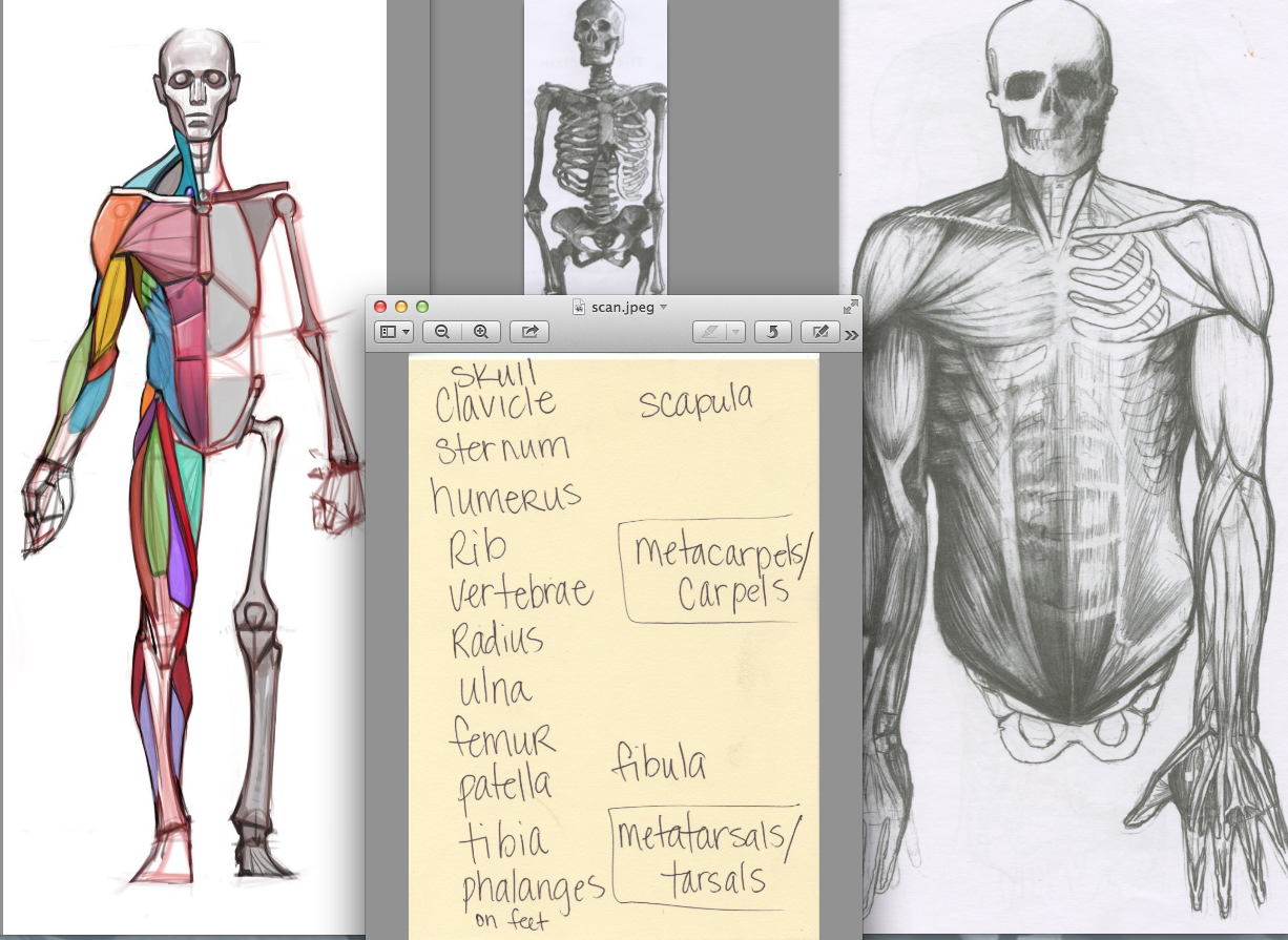 Draw The Entire Skeleton Show Half Bones Have Muscles