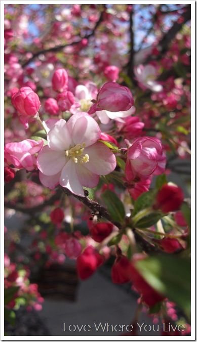 Love Where You Live Holidays And Special Events Cherry Blossom Tree Beautiful Flowers Japanese Cherry Blossom