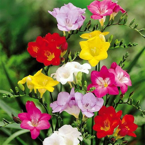 Mixed Single Freesia 25 Bulbs Indoors Out Fragrant 6 Cm Bulbs Bulb Flowers Flowers Freesia Flowers