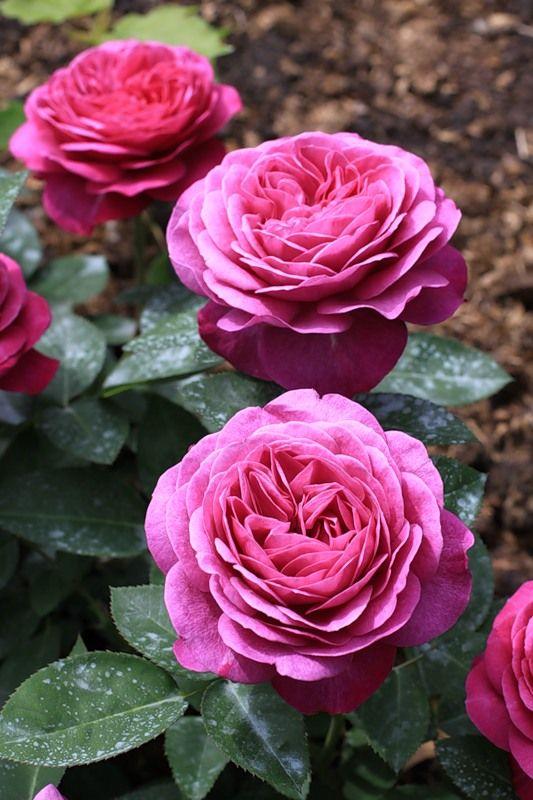 39 heidi klum rose 39 floribunda rose rosen tantau 2006. Black Bedroom Furniture Sets. Home Design Ideas