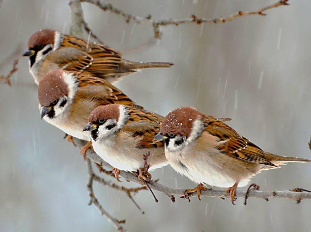 Kış Ortasında Serçeler