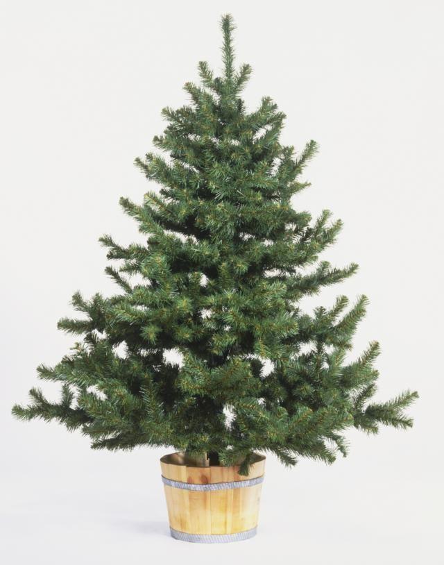 How Do You Preserve a Living Christmas Tree for Replanting ...