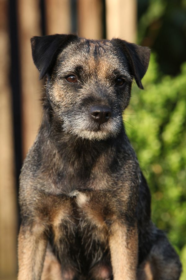 Get to Know the Border Terrier A Breed That's Borderline