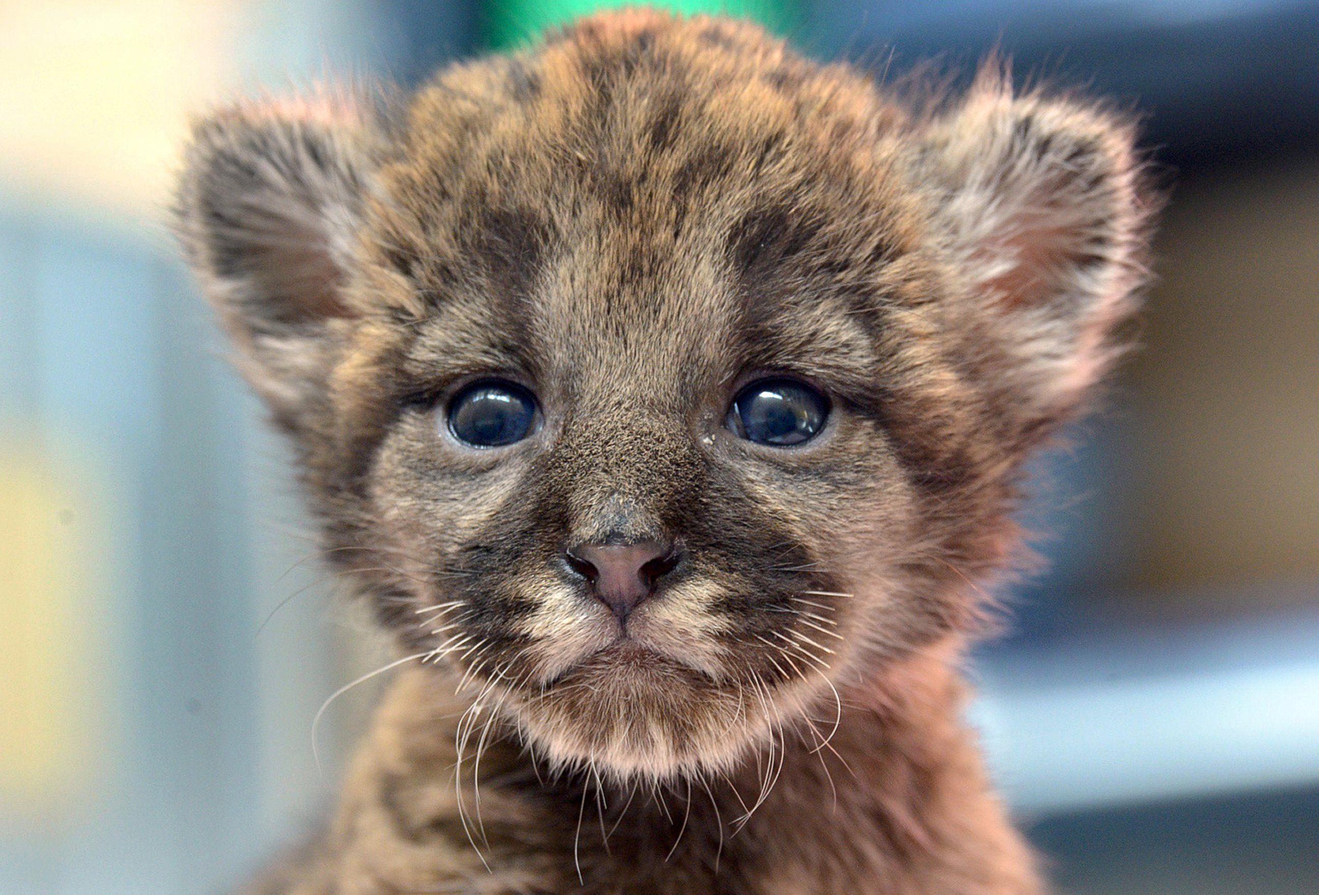Precious Panther Cub Makes His Debut