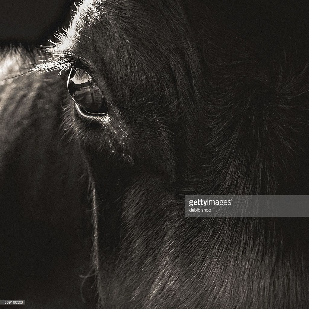 Abstract portrait of a Black Angus cow face closeup  The animal is