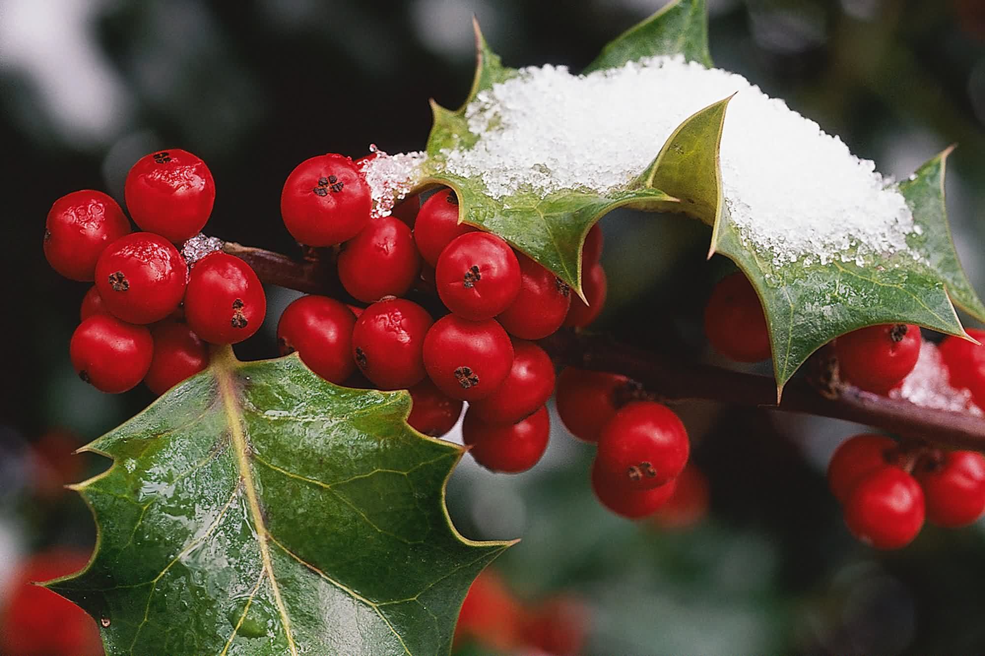 holly-berries-amb-wallpaper