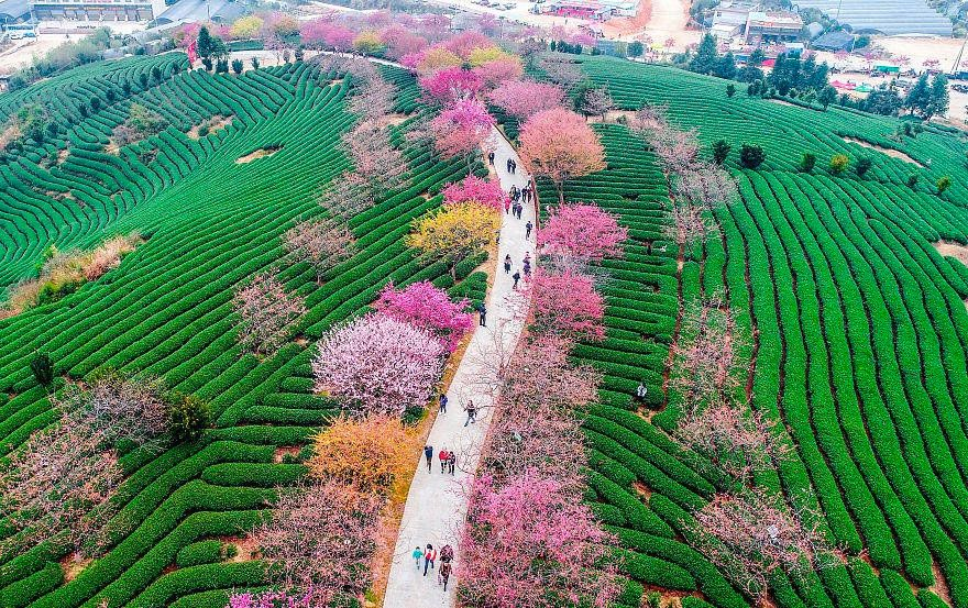Cherry Blossoms Have Just Bloomed In China And It S Probably One Of The Most Amazing Sights On The Planet Blossom Trees Cherry Blossom Cherry Blossom Tree