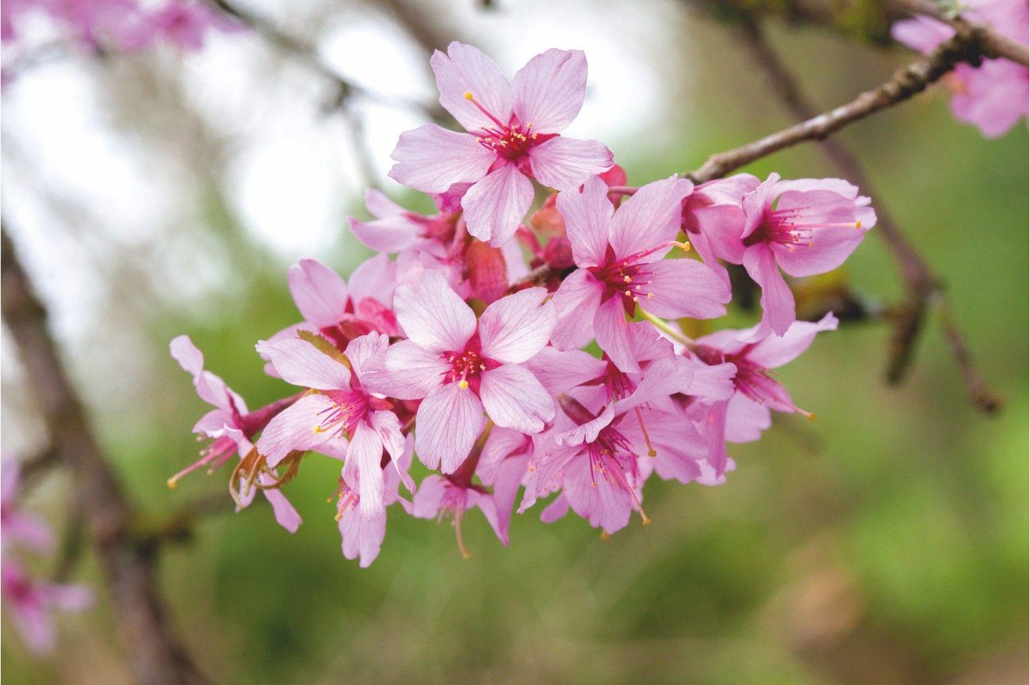 16 Of The Best Cherry Blossom Blossom Cherry Blossom Cherry Blossom Tree