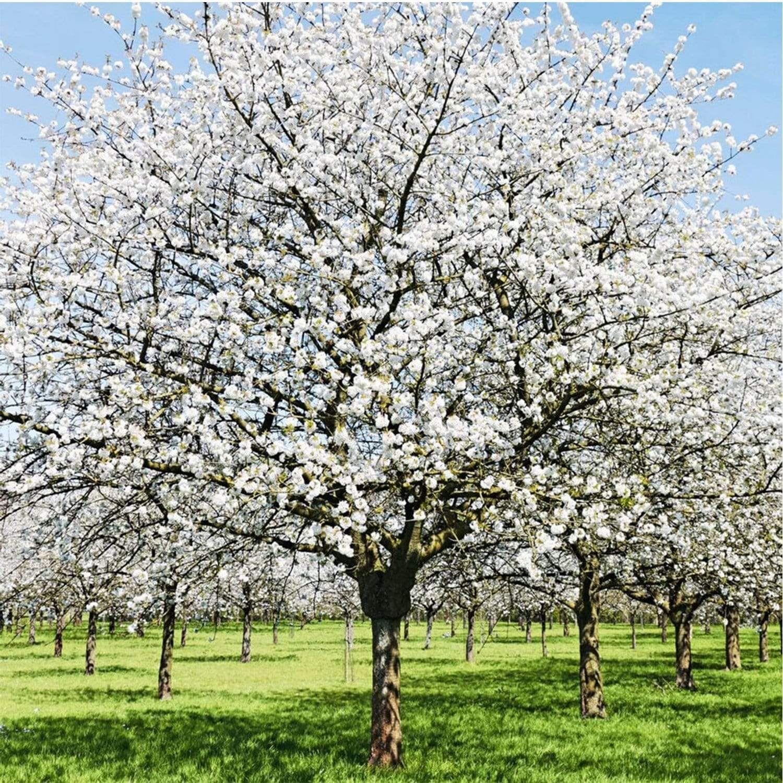 Snow Goose Cherry Trees Flowering Cherry Tree Crabapple Tree Cherry Tree