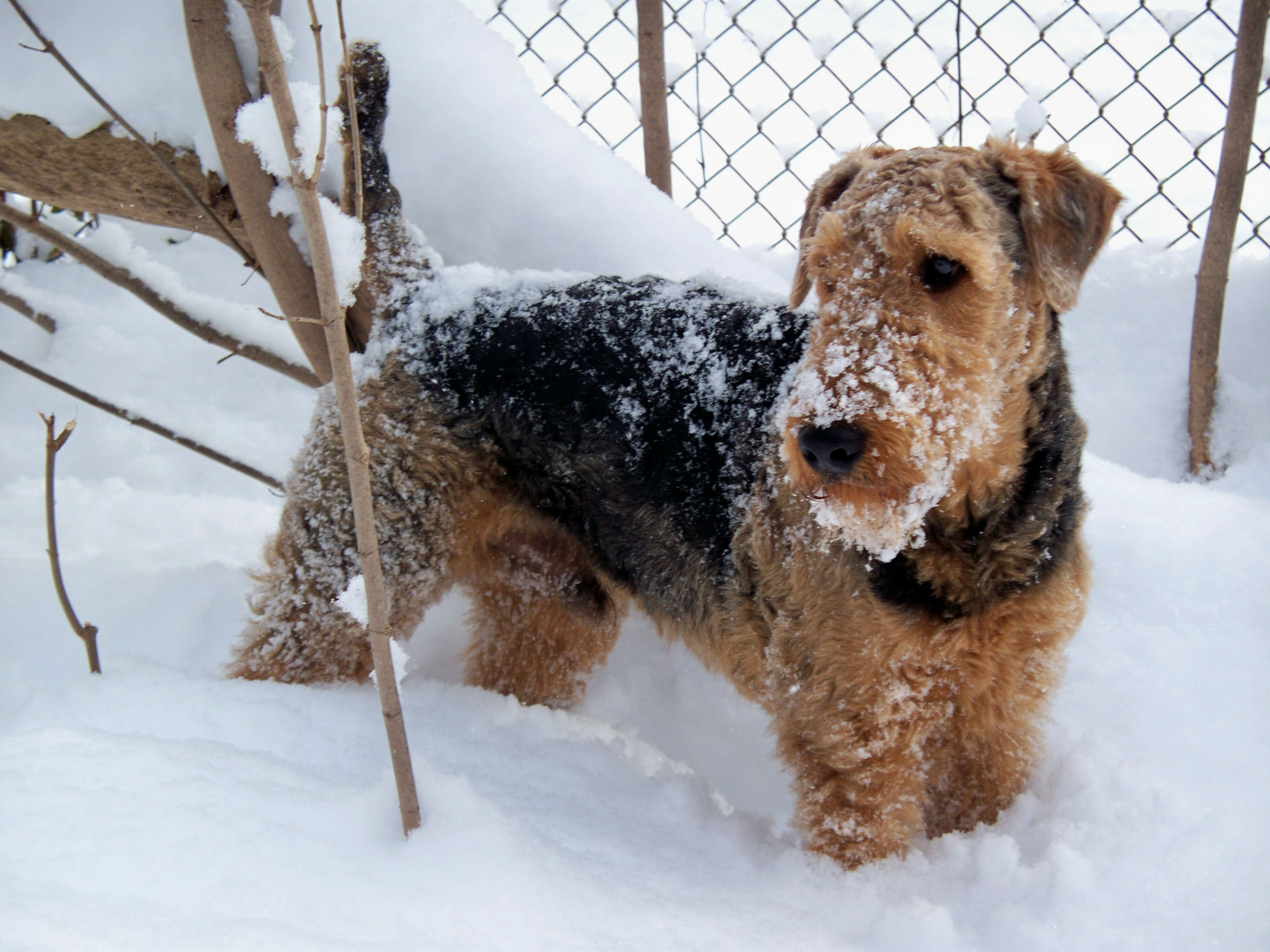 Airedales make me smile