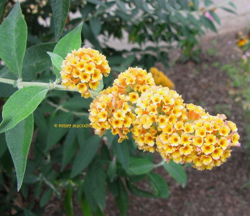 View Picture Of Buddleja Butterfly Bush Golden Butterfly Bush Honeycomb Buddleja X Weyeriana At Dave S Garden Butterfly Bush Planting Herbs Growing Herbs