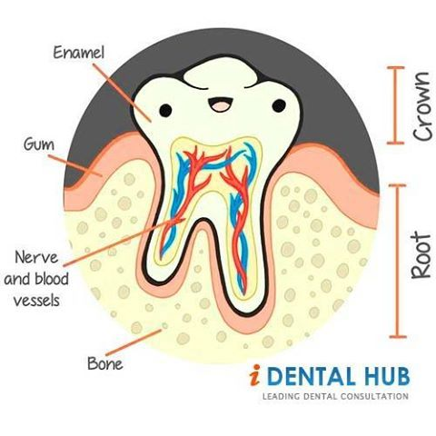 Anatomy Of A Tooth Cammarata Pediatric Dentistry In Houston Tx