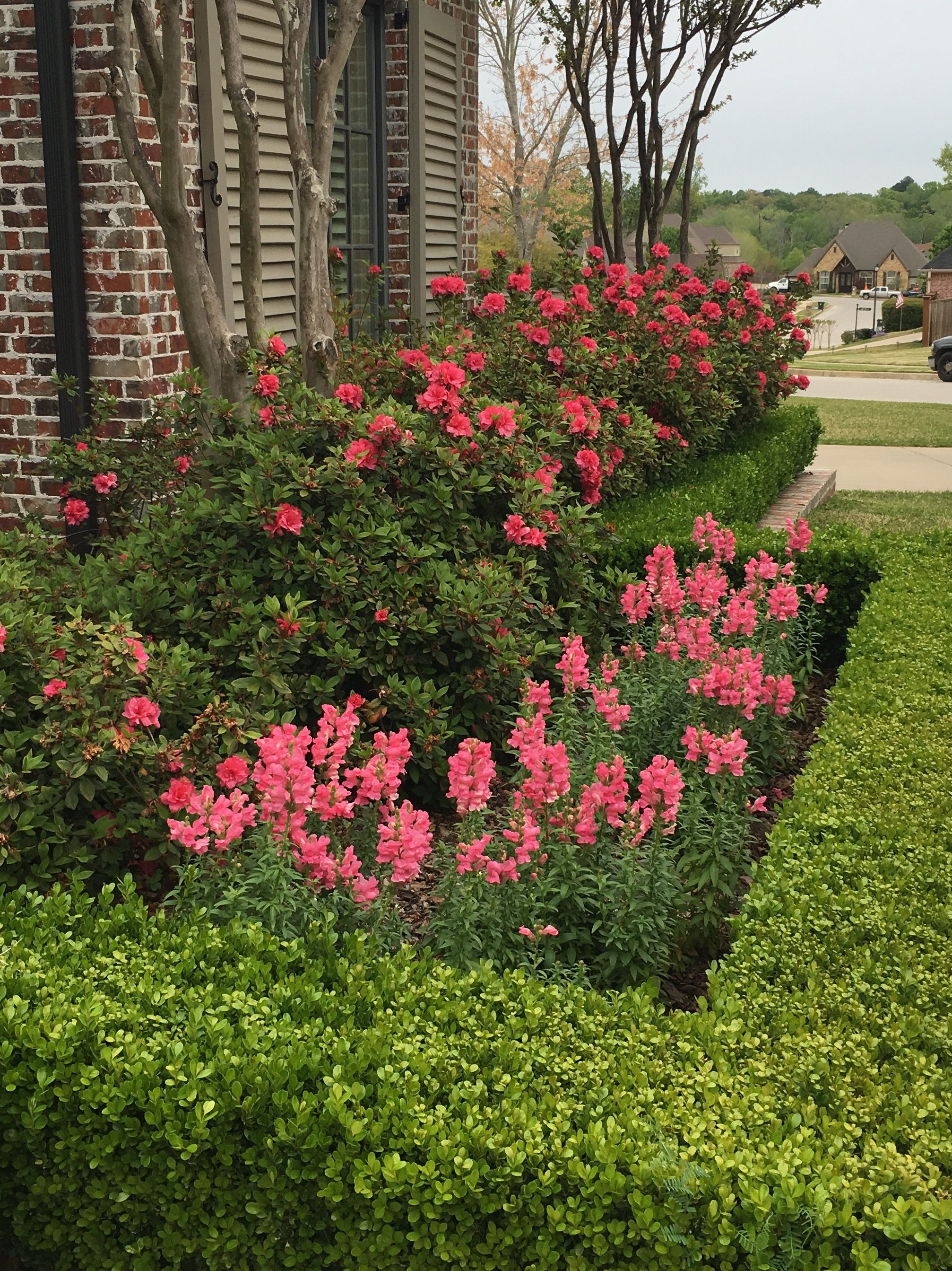 Autumn Rouge Encore Azaleas and Snapdragons with a boxwood hedge ...