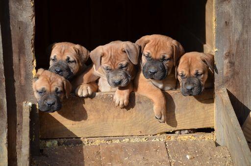 Boerboel puppy for sale in DILLWYN, VA. ADN21525 on