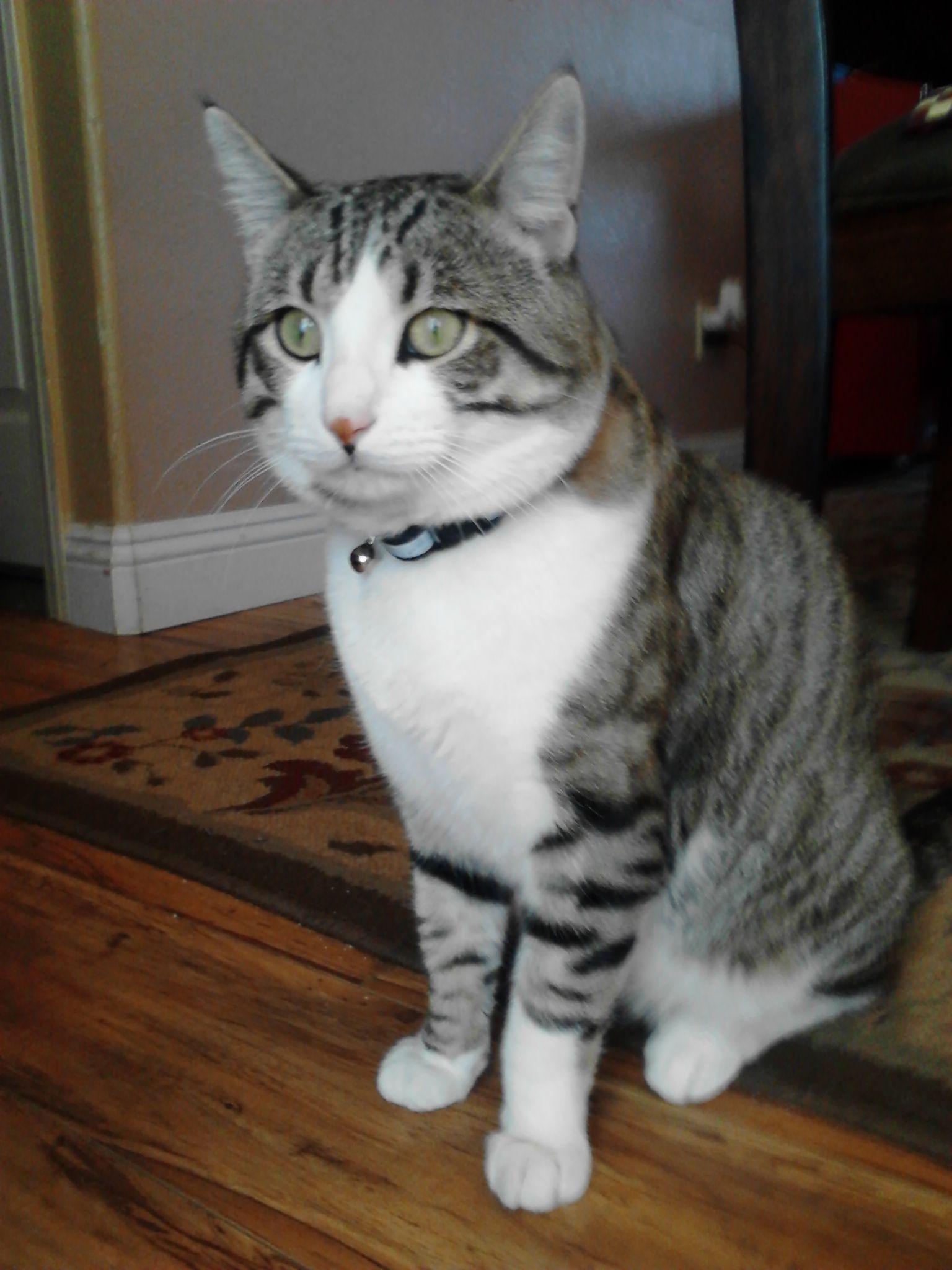 Burmese Mix Cat Feral Bengal Maine Coon Mix cats