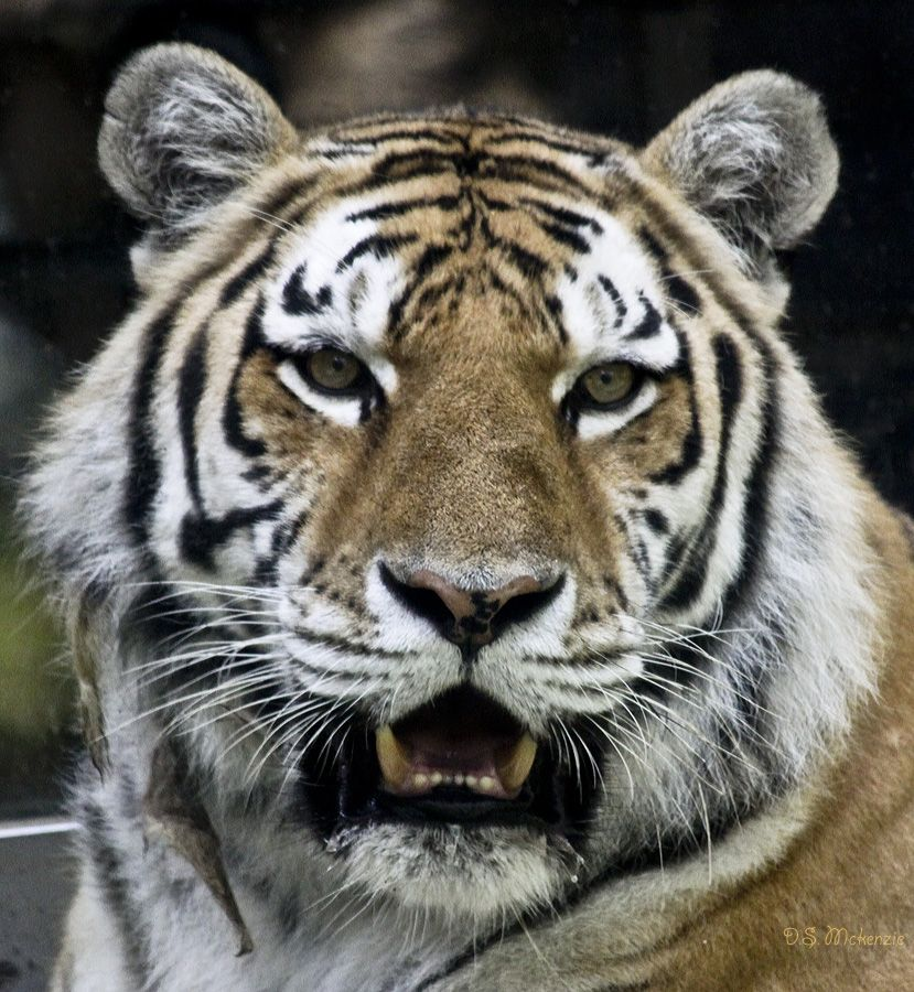 Bangal Tiger at Omaha Zoo    I love little kitties!