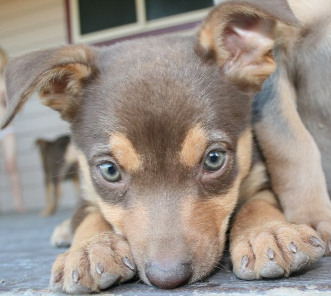 Pure Bred Kelpie Pups For Sale Australian Kelpie In Qld For Sale Puppies And Kitties Australian Kelpie Dog