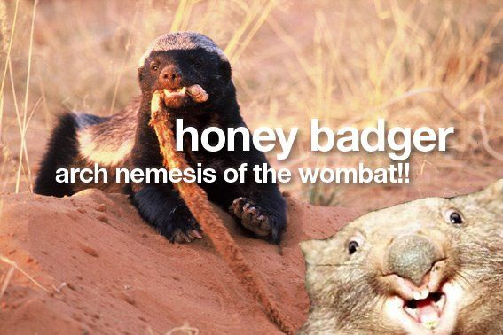 Look out, honey badger!