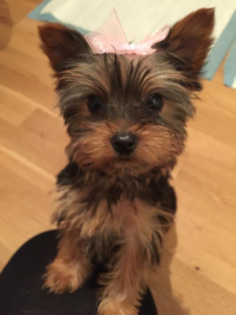 Beautifull Female Yorkshire Terrier Puppy London Gumtree Dogs