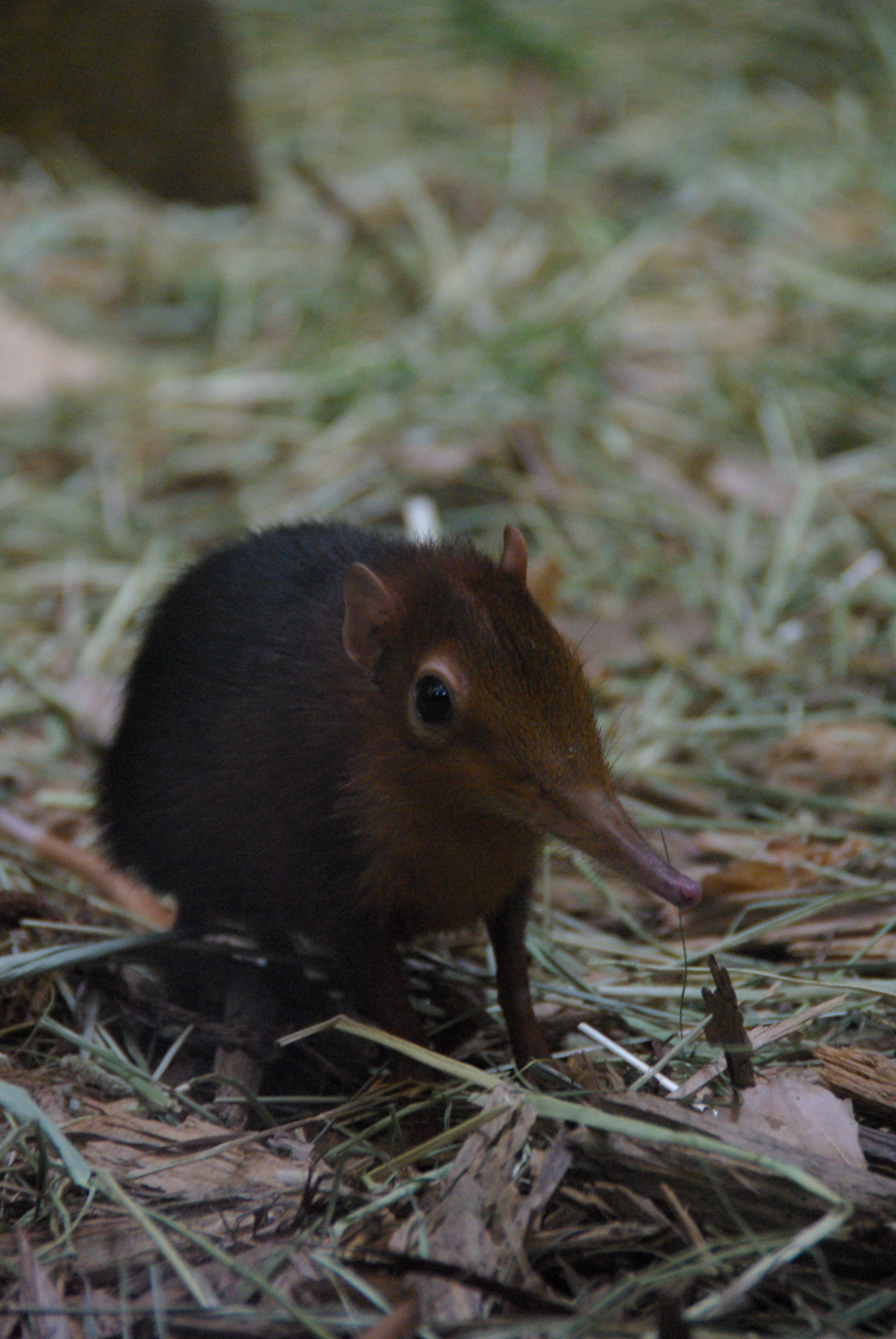 Small Animal Reptiles And Amphibian Habitats: Elephant Shrew BABYYYYYYY SHREWW