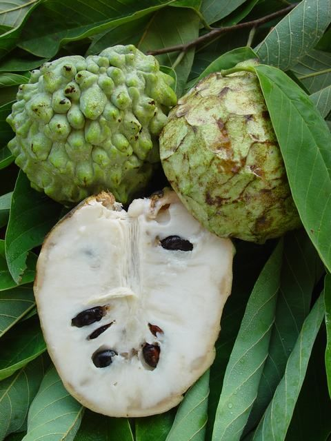 atemoya fruta diabetes mellitus