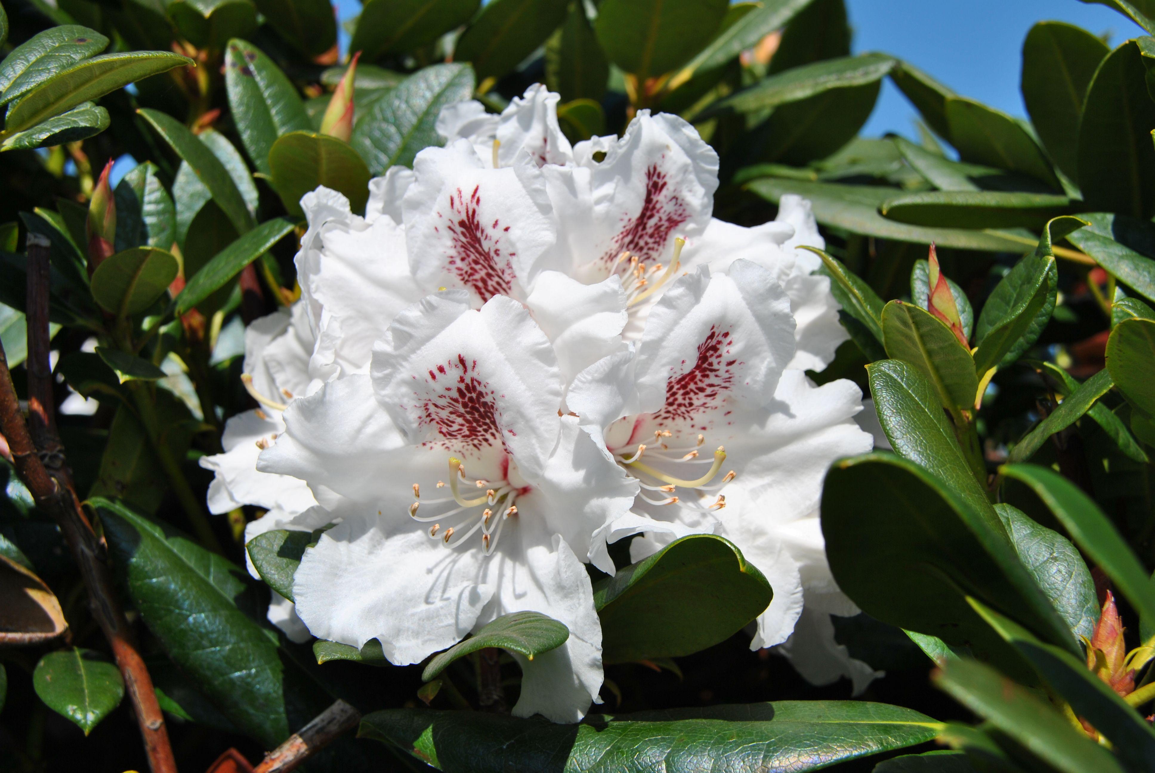 Rhododendron 'Rasteder Schloßperle' - Perfekte Kombination aus weißer Blütenpracht & dunkelgrüner Belaubung ist einzigartig