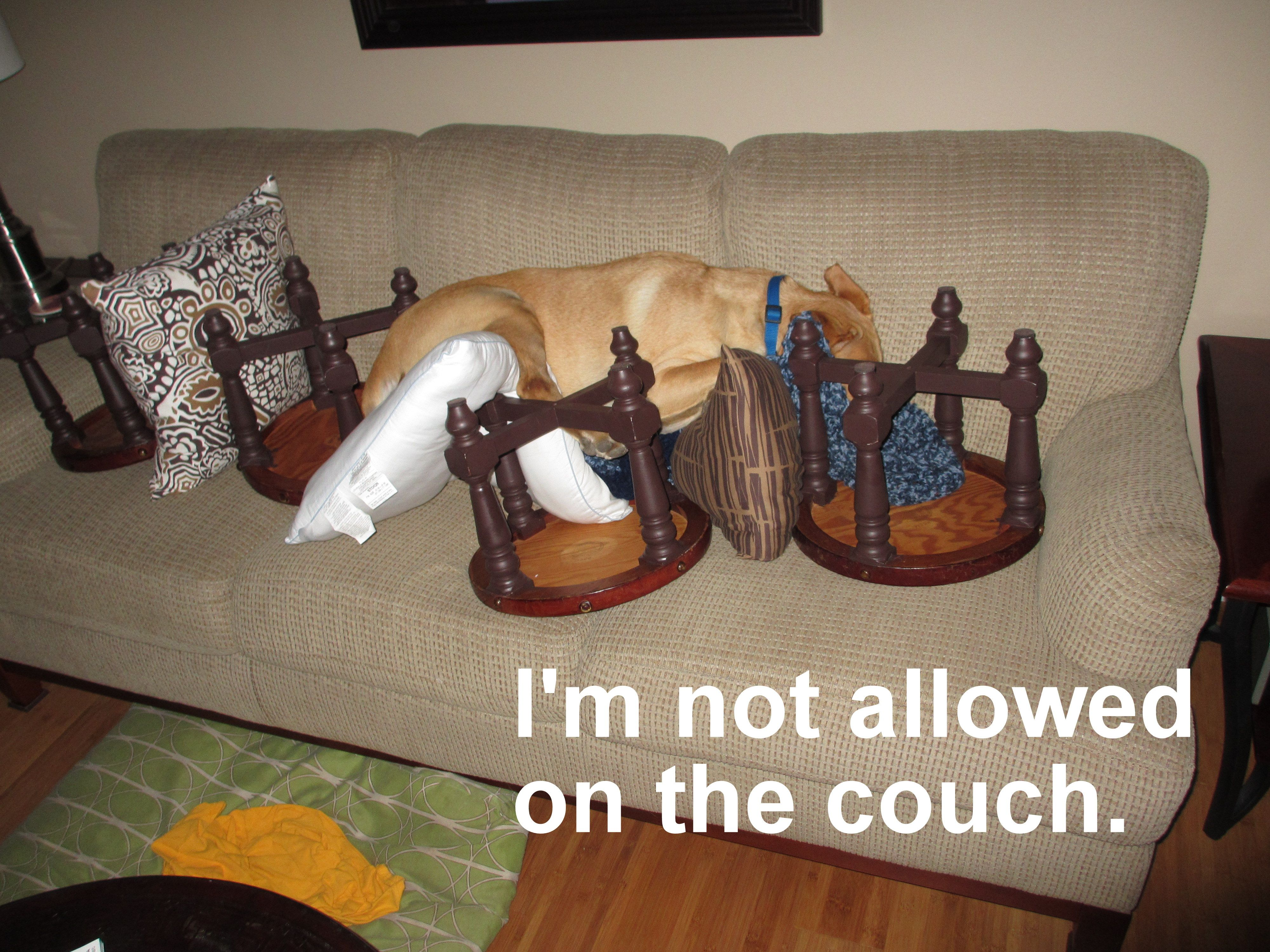 Elegant Nothing Will Stop A Dog Determined To Sleep On The Couch   Not Even An  Upside
