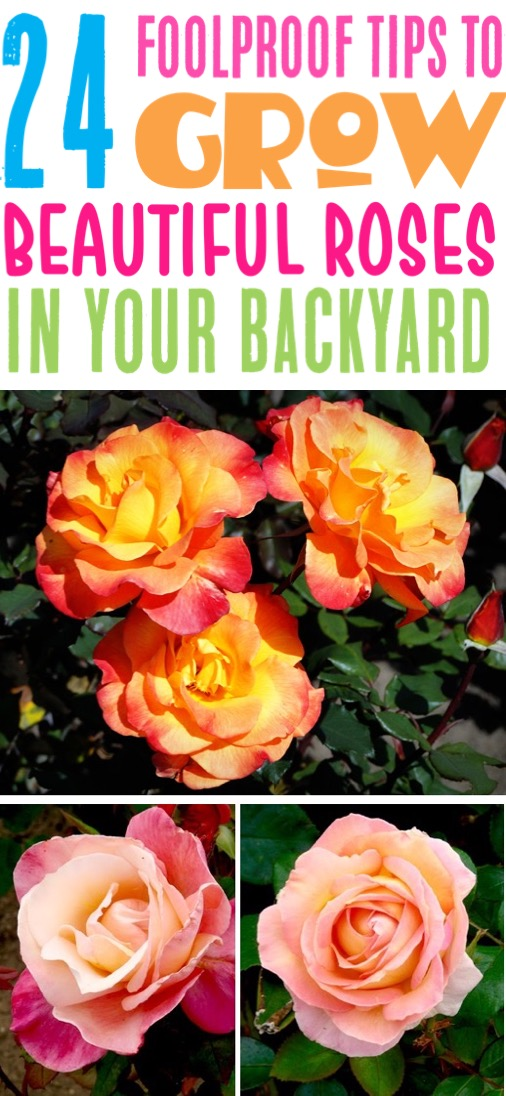 26 Rose Gardening Tips for Beginners to Pros! {Ultimate Guide}