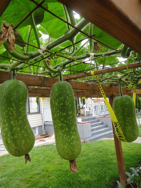 Hanging Squash Gardening And Outdoor Spaces Squash