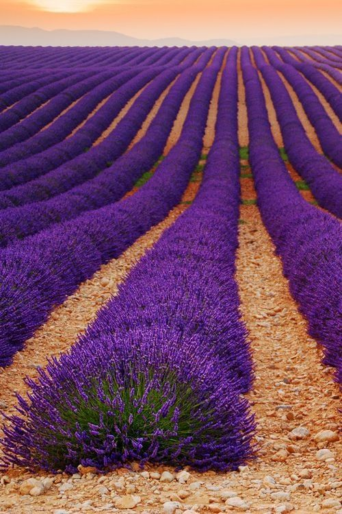 Lavender Field, Provence, France