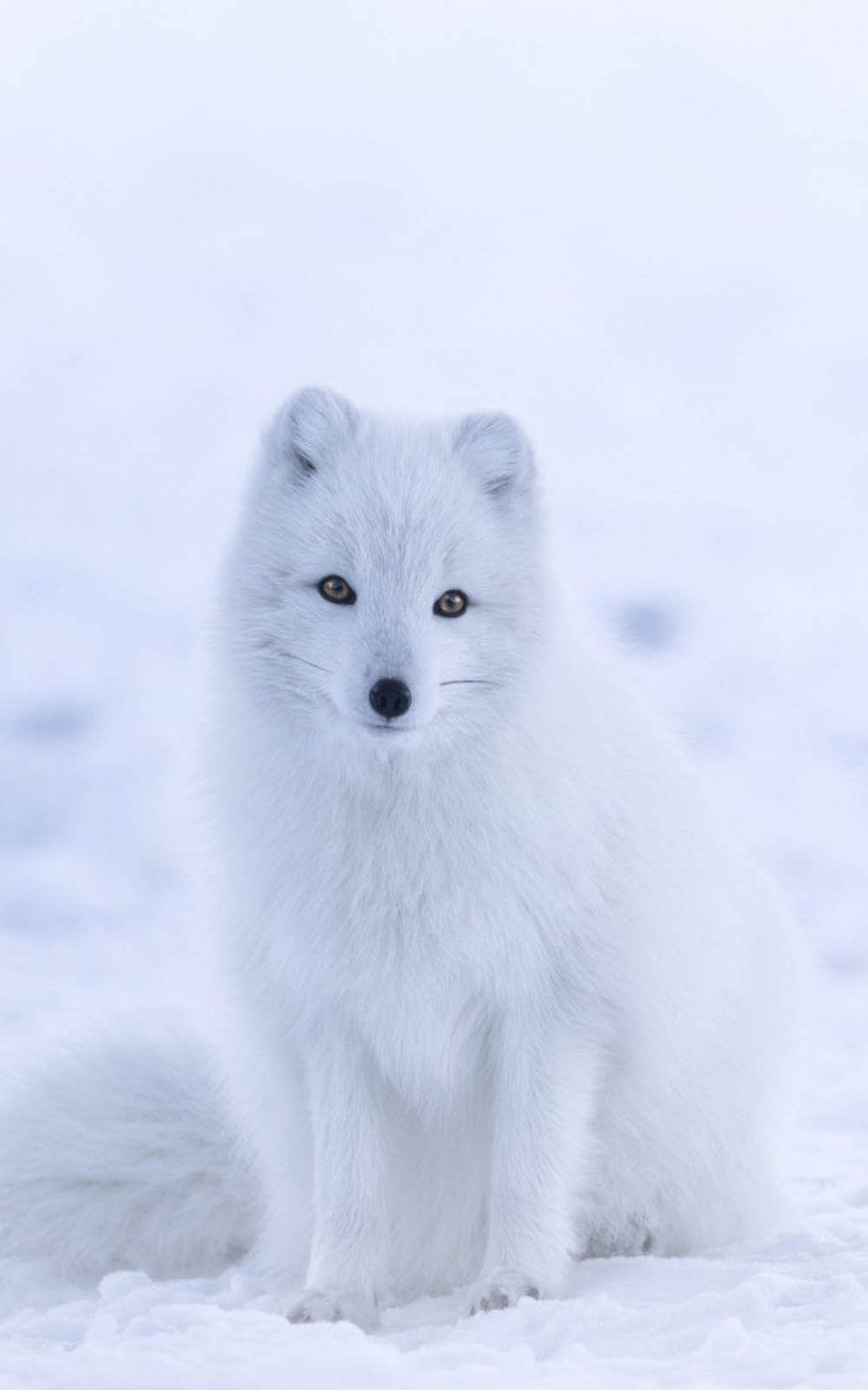 Cute White Arctic Fox Vlk, Liška, Přátelství
