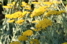Image result for yellow herbaceous border plants uk