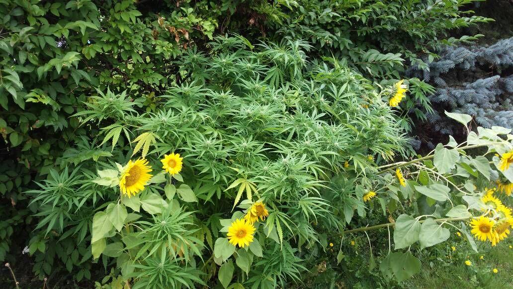 melissapot: kush pot strain cannabis 420 stoner marijuanaherb weed ganja