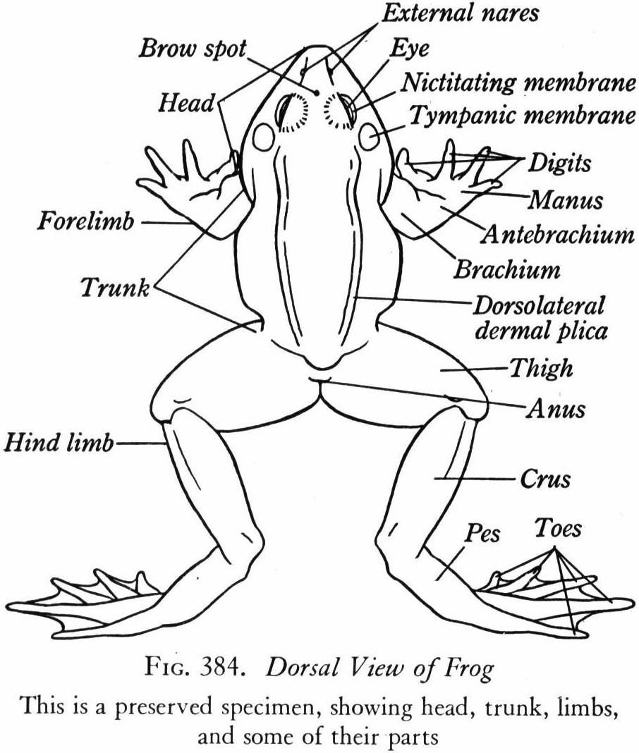 Frog anatomy labeled
