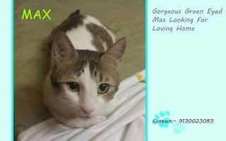 ADOPTION OF HOMELESS ANIMALS IN PUNE: Max the green eyed kitty needs a home forever. Pun...