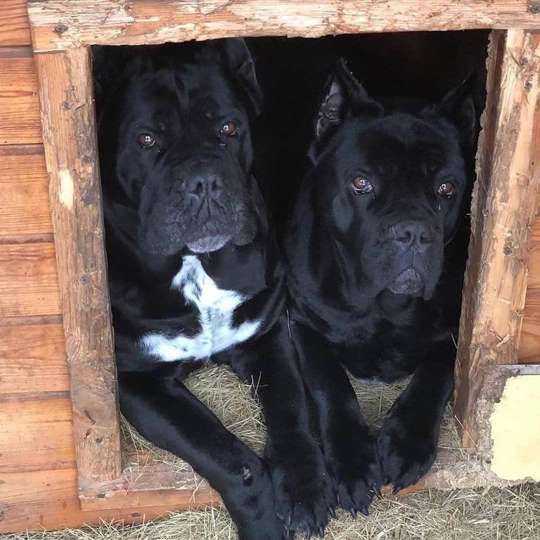 Together Is Better Follow Canecorsoeurope Canecorso Dogsofinstagram Dogs Dogstagram Dogs Cane Corso Mastiff Puppies For Sale British Mastiff