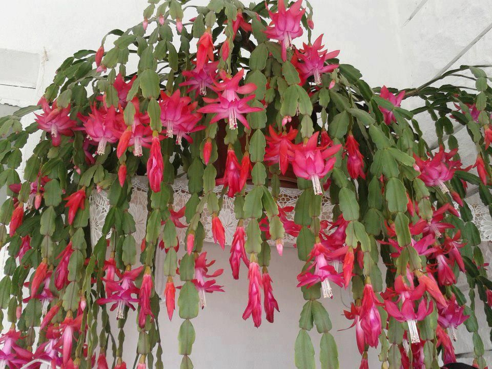 Hoping My Schlumbergera Truncata Looks Like This Some Day